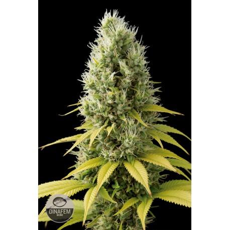 buy cannabis seeds Shark Shock CBD