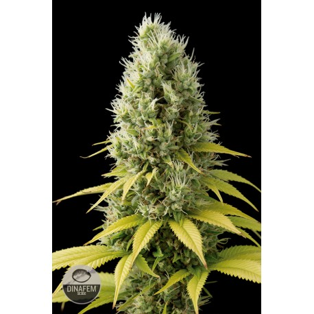 buy cannabis seeds Shark Shock CBD