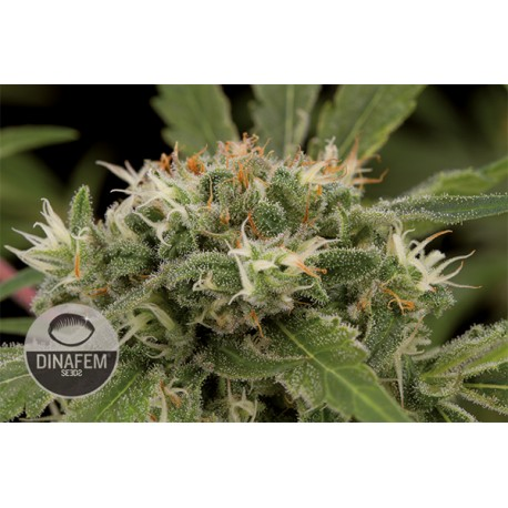 buy cannabis seeds Strawberry Amnesia