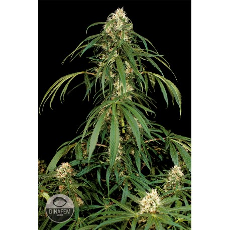 buy cannabis seeds Super Silver