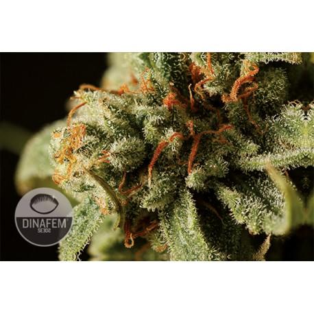 buy cannabis seeds Sweet Deep Grapefruit