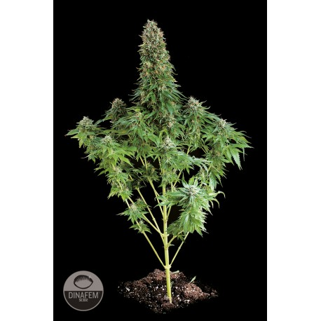 buy cannabis seeds White Siberian