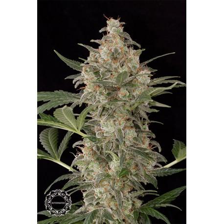 buy cannabis seeds Cheese Autoflowering