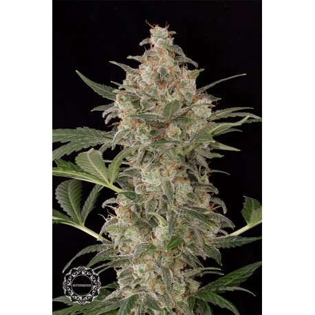 buy cannabis seeds Cheese Autoflowering