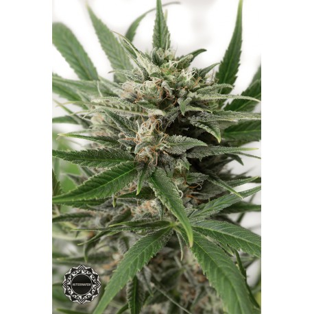 buy cannabis seeds Blue Amnesia XXL Autoflowering