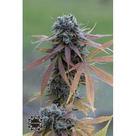 buy cannabis seeds Blue Kush Autoflowering