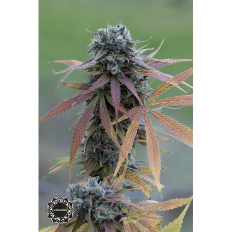 buy cannabis seeds Blue Kush Autoflowering