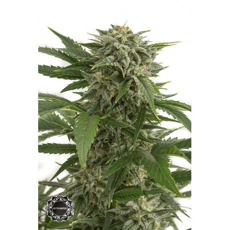buy cannabis seeds Bubba Kush Autoflowering