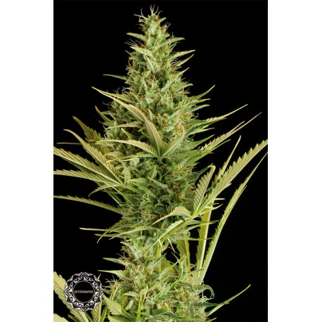 buy cannabis seeds Cheese XXL Autoflowering
