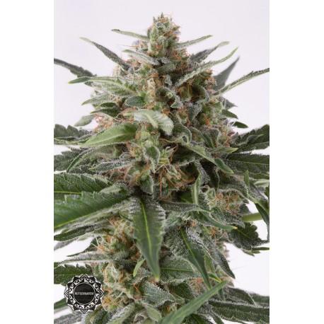 buy cannabis seeds Critical + Autoflowering