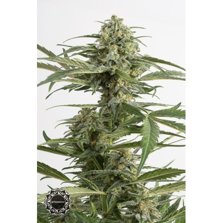 buy cannabis seeds Critical Cheese Autoflowering