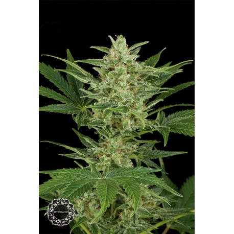 buy cannabis seeds Critical Jack Autoflowering