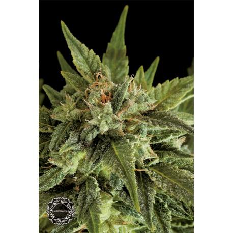 buy cannabis seeds Fruit Autoflowering