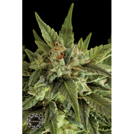 buy cannabis seeds Fruit Autoflowering
