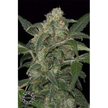 buy cannabis seeds Haze 2.0 Autoflowering
