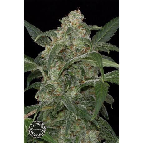 buy cannabis seeds Haze 2.0 Autoflowering