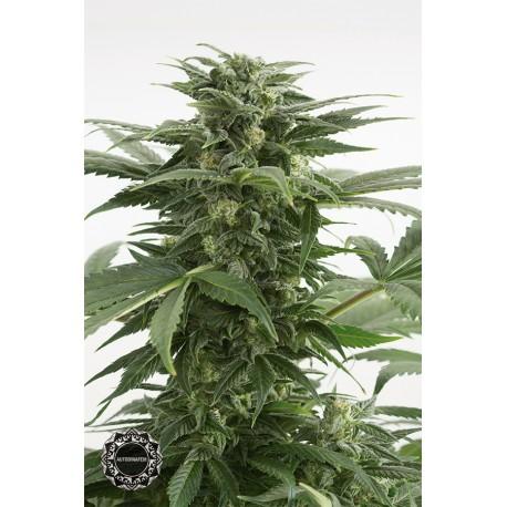buy cannabis seeds Haze XXL Autoflowering