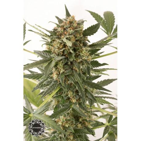 buy cannabis seeds Kush n Cheese Auto