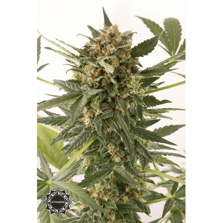 buy cannabis seeds Kush n Cheese Auto