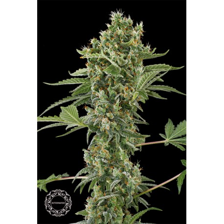 buy cannabis seeds Moby Dick Autoflowering