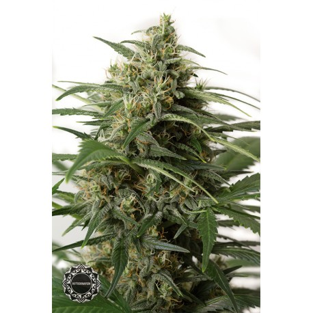 buy cannabis seeds Moby Dick XXL Auto