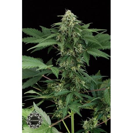 buy cannabis seeds Roadrunner Autoflowering