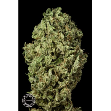 buy cannabis seeds Sour Diesel Autoflowering