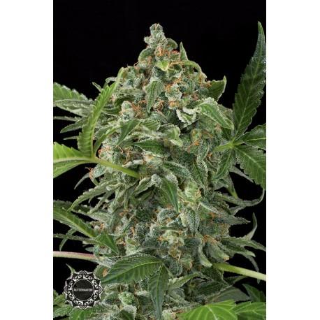 buy cannabis seeds White Cheese Autoflowering