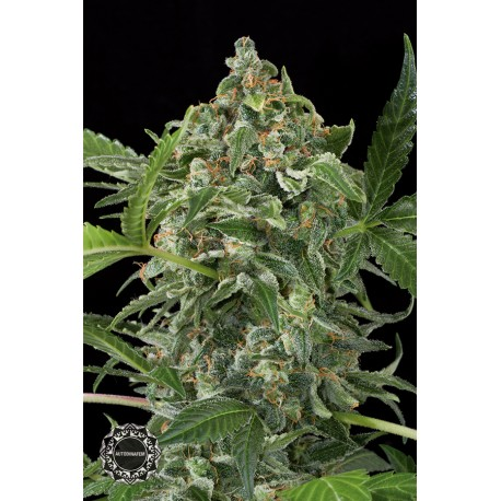 buy cannabis seeds White Cheese Autoflowering