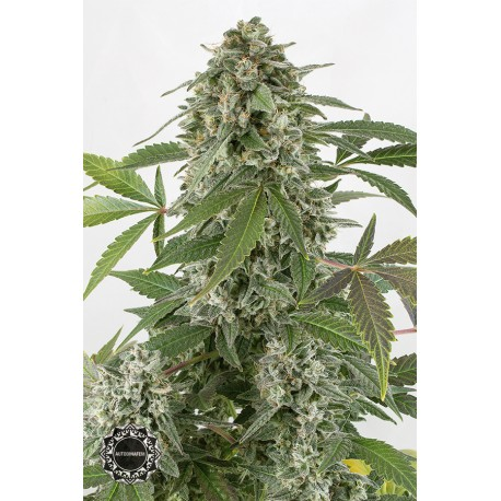 buy cannabis seeds White Widow Autoflowering