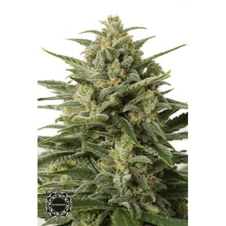 buy cannabis seeds White Widow XXL Autoflowering