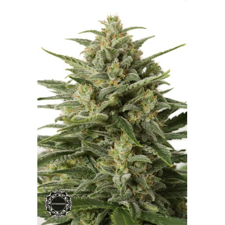 buy cannabis seeds White Widow XXL Autoflowering