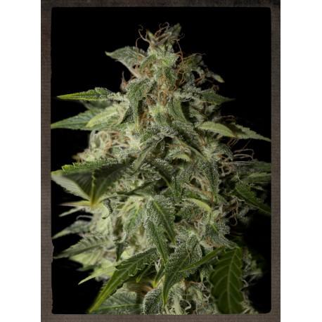 buy cannabis seeds Afgooey