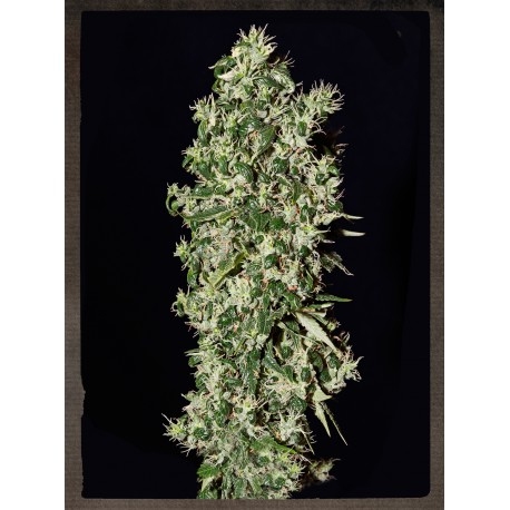 buy cannabis seeds Big Tooth