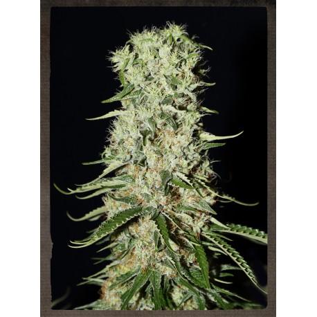 buy cannabis seeds Damnesia