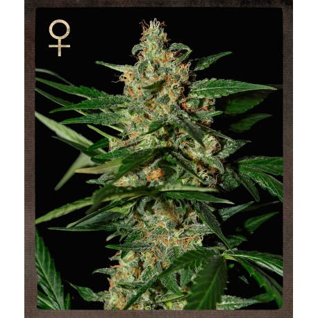 buy cannabis seeds Damnesia Auto