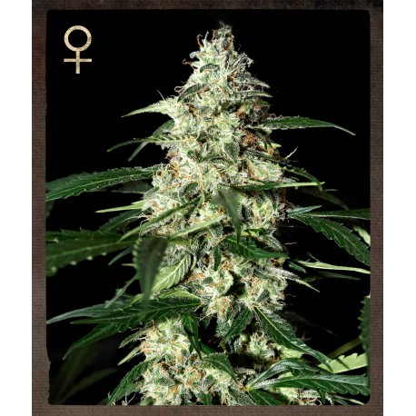 buy cannabis seeds Skunk Auto