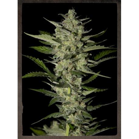 buy cannabis seeds Flowerbomb Kush