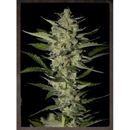 buy cannabis seeds Flowerbomb Kush