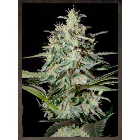 buy cannabis seeds White Lemon