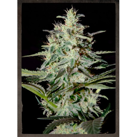 buy cannabis seeds White Lemon
