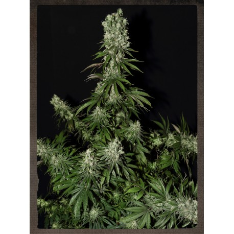 buy cannabis seeds White Strawberry Skunk
