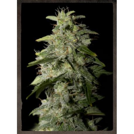buy cannabis seeds Money Maker