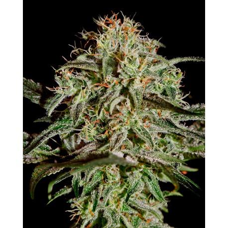 buy cannabis seeds AMS