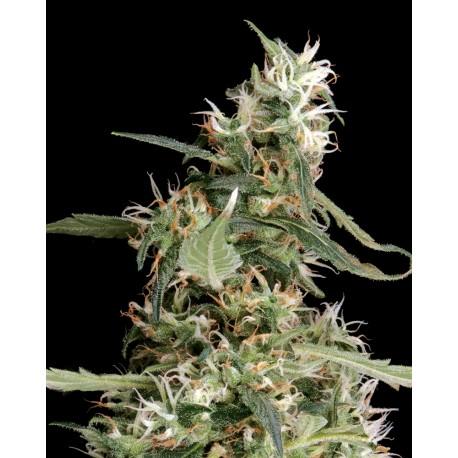 buy cannabis seeds Arjan Ultra Haze #1