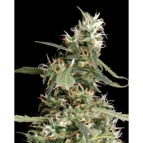 buy cannabis seeds Arjan Ultra Haze #1