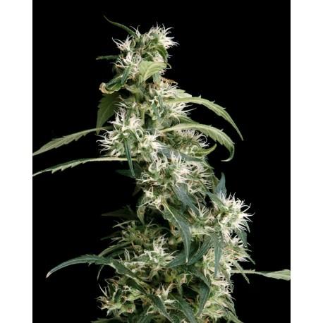 buy cannabis seeds Arjan Ultra Haze #2