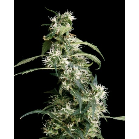 buy cannabis seeds Arjan Ultra Haze #2