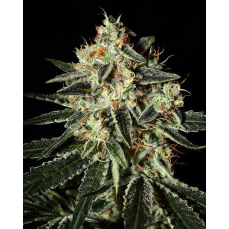 buy cannabis seeds Cheese