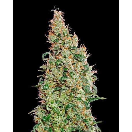 buy cannabis seeds Green-o-matic